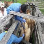 Colombia Adelanta Muestreos Epidemiológicos a Bovinos para Demostrar Ausencia de la Fiebre Aftosa