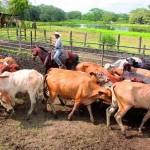 El Riguroso Programa Panameño de Erradicación de la Brucelosis Bovina