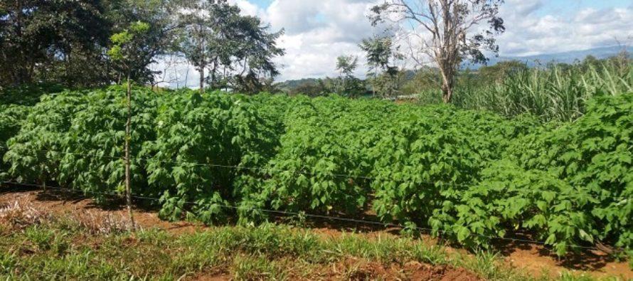 Botón de Oro: Arbusto Forrajero Ayuda a Disminuir las Emisiones de Metano