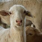 Los Ovinos Responderían Bien a Dietas con Insumos Alternativos