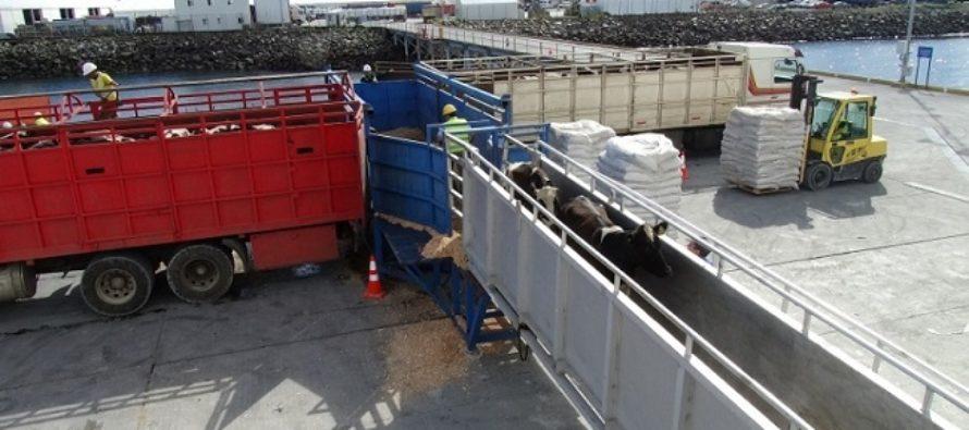 Chile Exportó 4 Mil Vaquillas en Pie de Razas Lecheras y Cárnicas a China