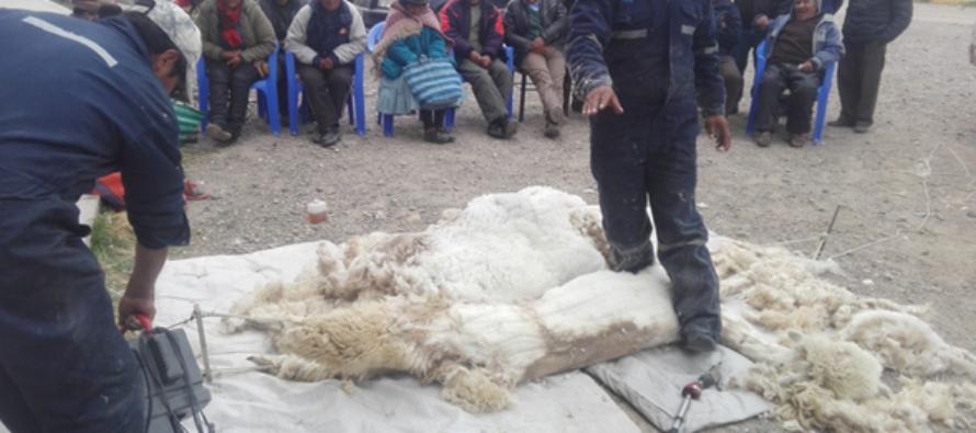 Inicia Acopio de Fibra de Alpaca en Macusani con Demostraciones de Esquila