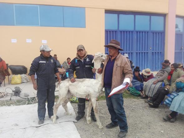 esquila_alpacas_macusani_02