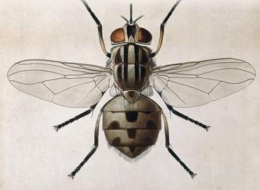 mosca_del_establo