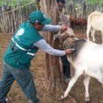 Tumbes: Senasa Vacunó a Más de Ocho Mil Bovinos Contra Carbunco Sintomático