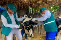 Senasa Registra Vacunación de Cientos de Animales Contra el Ántrax en Ancash