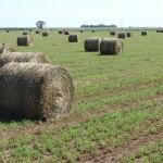 El Mercado Mundial Demanda cada vez más Heno de Alfalfa