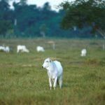 El Abono y la Dieta Reducen las Emisiones de Metano y Mejoran la Productividad Bovina