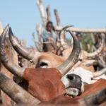 Portugal: Revela la Diversidad Genética de la Tuberculosis Bovina en África