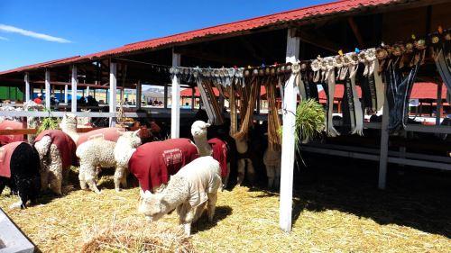 vacuna_contra_la_neumonia_en_Alpacas_02