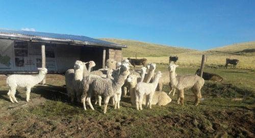 vacuna_contra_la_neumonia_en_Alpacas_04