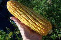 Evaluación de Variedades de Maíz para Alimentación Animal