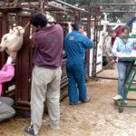 Científicos Argentinos usan Tecnología para la Reproducción Bovina