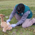MINAGRI Descarta Muerte Masiva de Camélidos por Enterotoxemia en Puno
