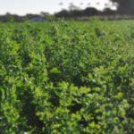 Alfalfa Forrajera Capaz de Enfrentar el Déficit Hídrico