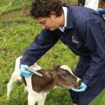 Se Vacunará Contra Fiebre Aftosa a Bovinos Menores de 1 año en Ecuador
