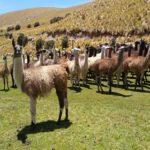 INIA Crea por Primera Vez Registro con Información Genealógica de Llamas en Puno