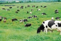 Perú Impulsará la Ganadería Para Producir Leche y Carne