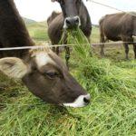 Pastos Mejorados Incrementarán Seis Veces Producción de 40,000 Pequeños Ganaderos