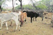 Tumbes: 60 Mil Cabezas de Ganado en Peligro ante Inicio de Sequía
