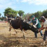 Lambayeque: Senasa Vacunará Más de 46 Mil Animales Contra el Ántrax