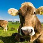 Cajamarca: Senasa Resguarda Sanidad Animal en Actividades Pecuarias de la Región