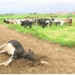 Piura: Fiebre Está Matando al Ganado Vacuno de Los Ranchos