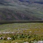 Pastos y Forrajes Cultivados Mejoran la Producción Ganadera en Ancash
