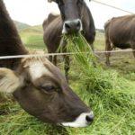 Minagri: Siembra de Pastos Mejorados Permite Duplicar Producción de Leche en Áncash