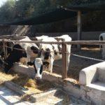 Tacna: Senasa Verifica Importación de 99 Vacas Holstein