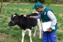 Perú: MINAGRI Instruye a Productores Pecuarios de Apurímac en Control de la Rabia en Bovinos