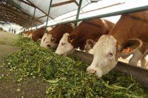 Gobierno del Perú Impulsa Ganadería con Pastos Cultivados y Mejoramiento Genético Vacuno