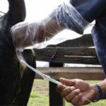 La Inseminación Artificial en Bovinos de Carne