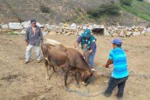 Perú: MINAGRI Atiende a Ganaderos para Prevenir Aparición de Casos de Ántrax