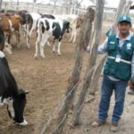 Lambayeque: Realizan Vigilancia Sanitaria Preventiva en Producción Ganadera y Agrícola