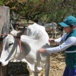 Abancay: Se Intensifica Vacunación en Karkatera para Evitar Brote de Carbunco Sintomático