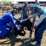 Tumbes: MINAGRI Refuerza Medidas Sanitarias para Controlar Posibles Brotes de Brucelosis Bovina
