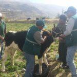 Arequipa: MINAGRI Atiende a Pequeños Ganaderos de Zonas Altas