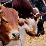 Argentina: INTA Establece Alternativas para Diseñar Nuevas Dietas a la Ganaderia Bovina