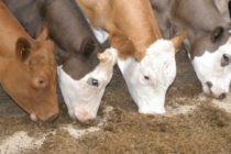Argentina: Técnicos del Inta Evalúan la Nutrición con Selenio en Vacas