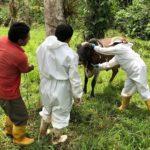 Ecuador Avanza con el Muestreo Nacional para la Brucelosis Bovina