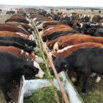 Argentina Aprobó la Primera Variedad de Alfalfa Genéticamente Modificada Ideal para el Engorde de Ganado Bovino