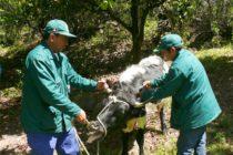 Perú: MINAGRI Vacuna Más de 16 mil Vacunos Contra Carbunco Sintomático y Edema Maligno en Ayacucho
