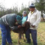 Perú: MINAGRI Vacuna Más de 11 Mil Animales para Prevenir Brotes de Carbunco Sintomático en Cusco