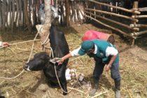 Piura: MINAGRI Vacunó a Más de 10 mil Animales Contra el Ántrax
