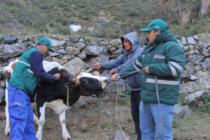 Perú: Senasa Desarrolla Campaña Sanitaria para el Ganado por Friaje y Heladas en Zonas Altoandinas de Lima