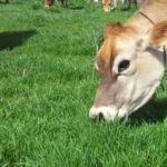 300 Nuevas Has de Pastos Cultivados para Contribuir al Desarrollo Ganadero de Chota