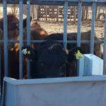 Argentina: Investigadores del Inta Desarrollan Comederos Inteligentes que Evalúan la Conducta de las Vacas