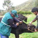 Cusco: Senasa Supera Vacunación de 5 mil Bovinos para Prevenir Brotes de Rabia