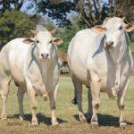 Hallan Regiones Genómicas que Podrían Aumentar la Producción de Carne en Brasil